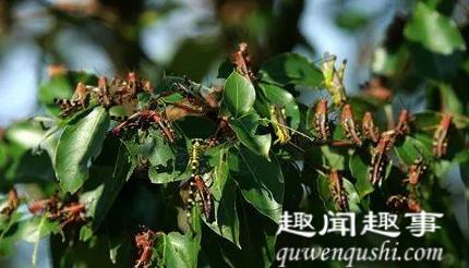 湖南永州现大批蝗虫啃食树叶飞入民居 当地出动无人机灭蝗具体是什么情况?