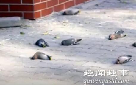 近日,内蒙古一小区内,每天有三四百只小鸟在同一地点撞楼自杀,现场有大量鸟类