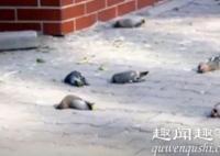 震惊!每天三四百只小鸟在同一地点撞楼自杀 原因曝光令人心疼